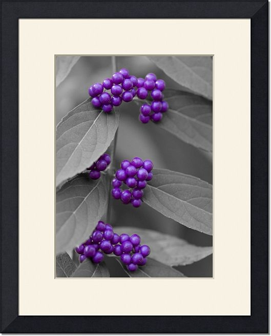 Purple Berries on Black and White Nature Photography Print