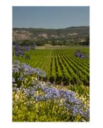 Vineyard and Purple Flower Poster Print